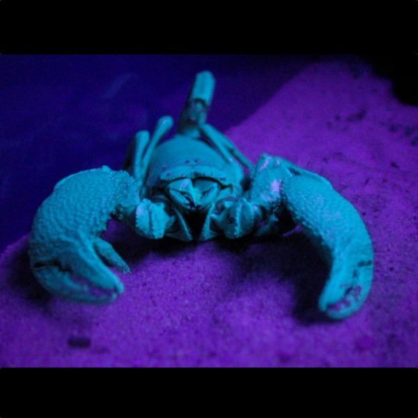 Scorpion Under UV Light